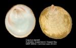 Capulidae