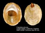 Crepidula adunca