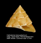 Calliostoma tranquebaricum