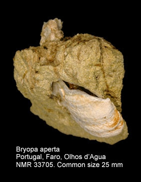 Bryopa aperta