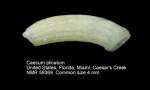 Caecum plicatum