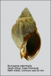 Burnupena catarrhacta