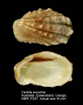 Cardita aviculina