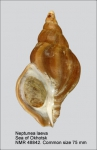 Neptunea laeva