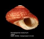 Homalopoma nocturnum