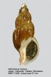 Plicifusus rhyssus