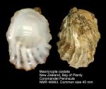 Maoricrypta costata