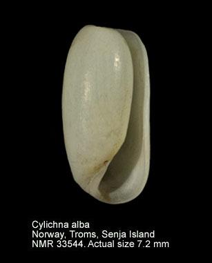 Cylichna alba
