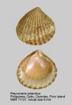 Pleuromeris zelandica