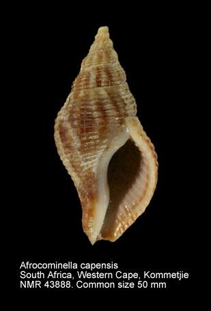 Afrocominella capensis