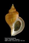 Neptunea lamellosa