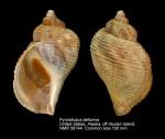 Buccinidae