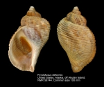 Pyrulofusus deformis