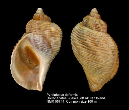 Pyrulofusus deformis