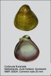 Corbicula fluminalis