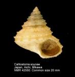 Calliostoma soyoae