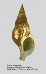 Colus stimpsoni
