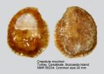 Calyptraeidae