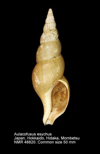 Aulacofusus esychus