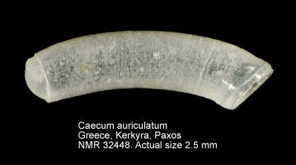 Caecum auriculatum