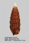 Cerithiopsidae