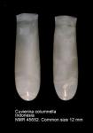 Cuvierina columnella
