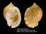 Semicassis saburon