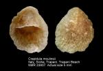 Crepidula moulinsii