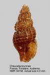 Chauvetia brunnea
