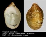 Crepidula porcellana
