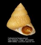 Calliostoma foveauxanum
