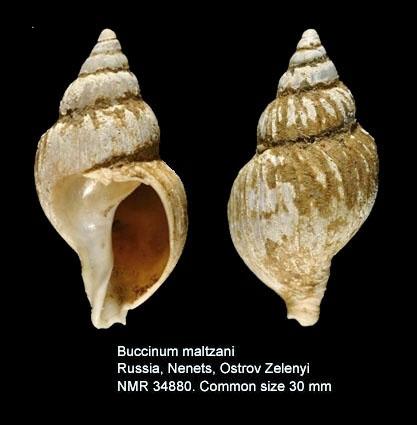 Buccinum maltzani