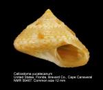 Calliostoma yucatecanum