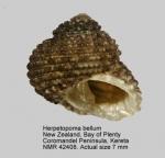 Herpetopoma bellum
