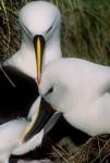 Yellow-nosed albatross 2