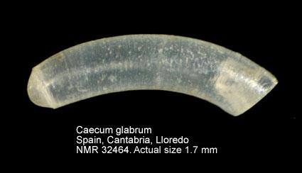 Caecum glabrum