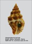 Hesperisternia karinae