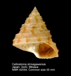 Calliostoma shinagawaense