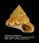 Calliostoma adspersum
