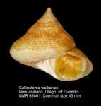 Calliostoma waikanae