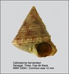 Calliostoma hernandezi