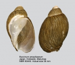 Volutharpa ampullacea