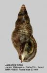 Japeuthria ferrea
