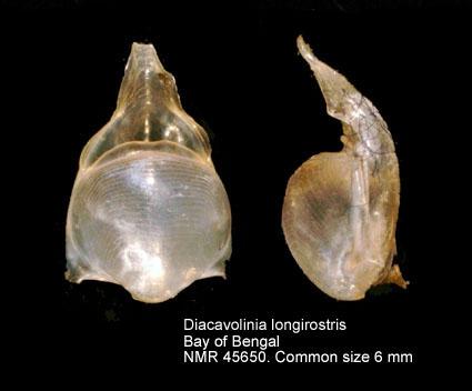 Diacavolinia longirostris