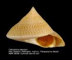 Calliostoma selectum