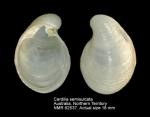 Cardilia semisulcata