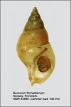 Buccinum finmarkianum