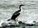 Antarctic shag
