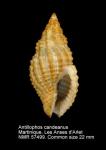 Antillophos candeanus