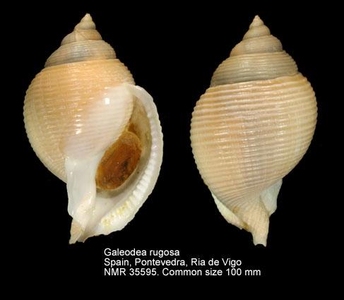Galeodea rugosa